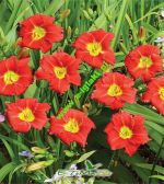 hemerocallis-lily-longsfield-red-baron-1-kus-promotion!!!.jpg