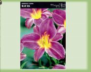 hemerocallis-lily-blue-sea-1-kus-promotion!!!.jpg