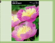 paeonia-pivonka-bowl-of-beauty-1-kus-promotion!!!.jpg